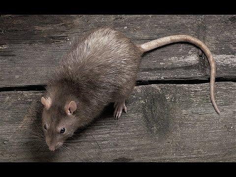lağım faresi ilaçlama, lağım faresi nasıl ilaçlanır, lağım faresi ilaçlama işlemi