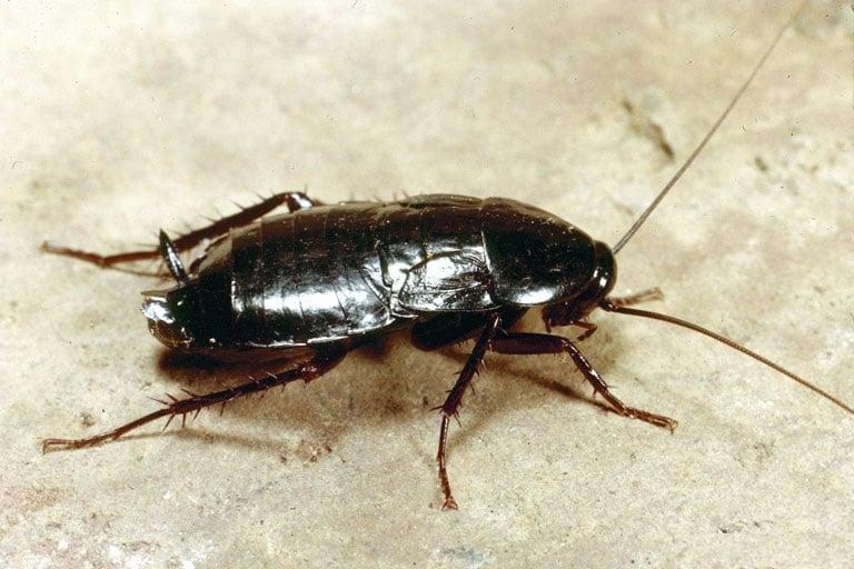 Oryantal Hamam Böceği İlaçlama