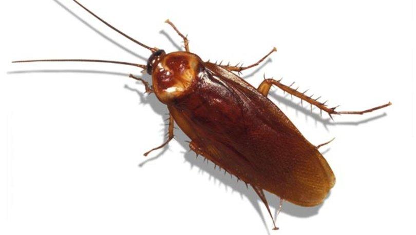 Kalorifer Böceği ve Hamam Böceği